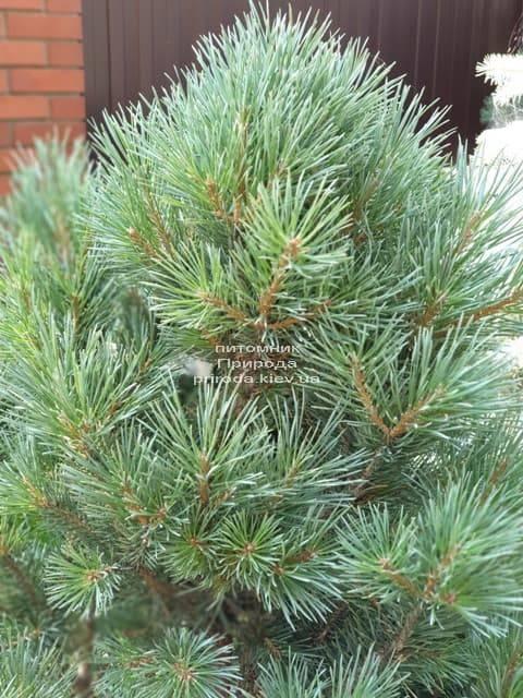 Сосна обыкновенная Ватерери (Pinus sylvestris Watereri) ФОТО Питомник растений Природа (8)