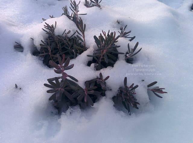 Андромеда (Підбіл багатолистий) Блю Айс ФОТО Розплідник рослин Природа (6)