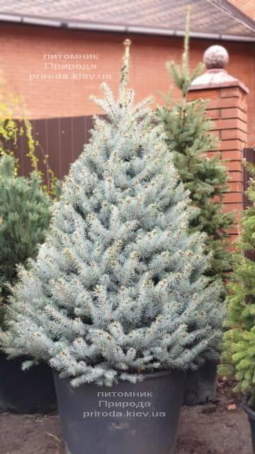 Ель голубая Блю Диамонд (Picea pungens Blue Diamond) ФОТО Питомник растений Природа (1)