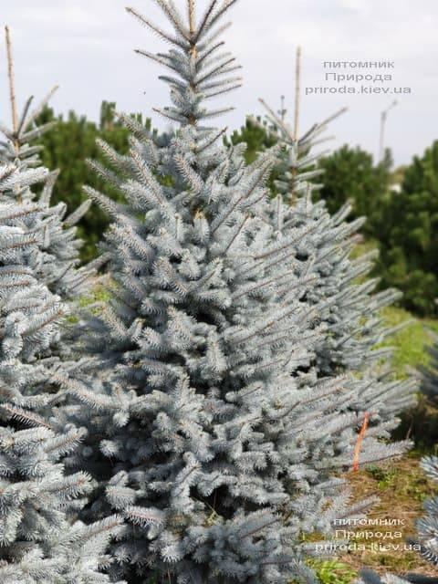 Ялина блакитна Блю Диамонд (Picea pungens Blue Diamond) ФОТО Розплідник рослин Природа (10)