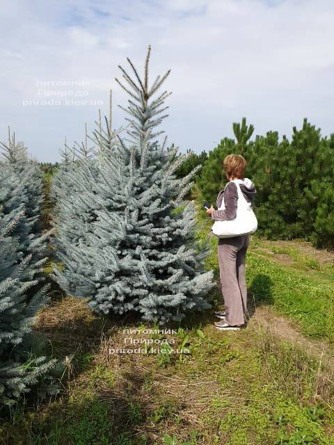 Ель голубая Блю Диамонд (Picea pungens Blue Diamond) ФОТО Питомник растений Природа (11)