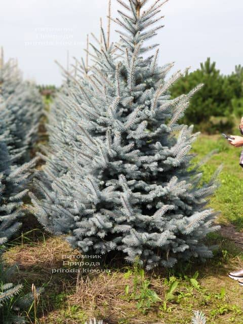 Ялина блакитна Блю Диамонд (Picea pungens Blue Diamond) ФОТО Розплідник рослин Природа (12)
