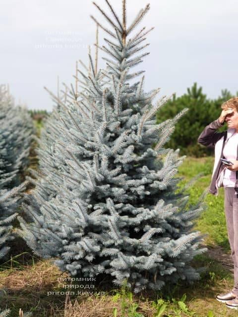 Ель голубая Блю Диамонд (Picea pungens Blue Diamond) ФОТО Питомник растений Природа (13)