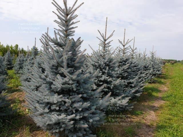 Ялина блакитна Блю Диамонд (Picea pungens Blue Diamond) ФОТО Розплідник рослин Природа (14)