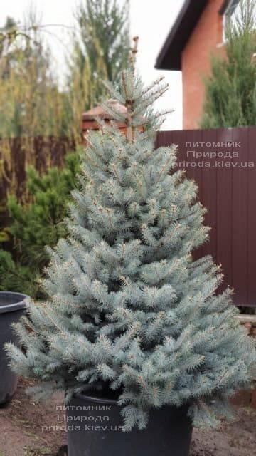 Ель голубая Блю Диамонд (Picea pungens Blue Diamond) ФОТО Питомник растений Природа (2)
