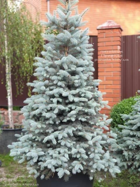 Ель голубая Блю Диамонд (Picea pungens Blue Diamond) ФОТО Питомник растений Природа (3)