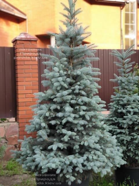Ель голубая Блю Диамонд (Picea pungens Blue Diamond) ФОТО Питомник растений Природа (4)