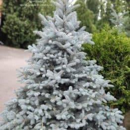 Ель голубая Блю Диамонд (Picea pungens Blue Diamond) ФОТО Питомник растений Природа (5)