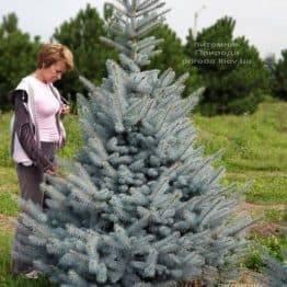 Ялина блакитна Блю Диамонд (Picea pungens Blue Diamond) ФОТО Розплідник рослин Природа (6)