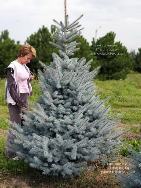Ель голубая Блю Диамонд (Picea pungens Blue Diamond) ФОТО Питомник растений Природа (6)