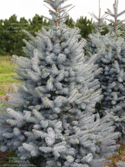 Ель голубая Блю Диамонд (Picea pungens Blue Diamond) ФОТО Питомник растений Природа (7)