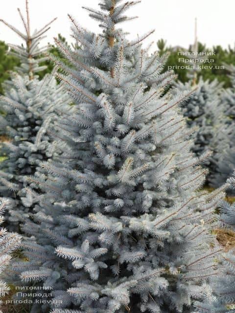 Ель голубая Блю Диамонд (Picea pungens Blue Diamond) ФОТО Питомник растений Природа (8)