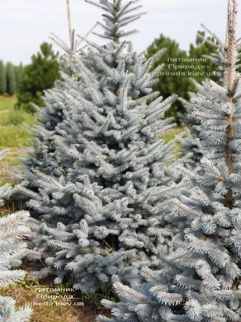 Ель голубая Блю Диамонд (Picea pungens Blue Diamond) ФОТО Питомник растений Природа (9)
