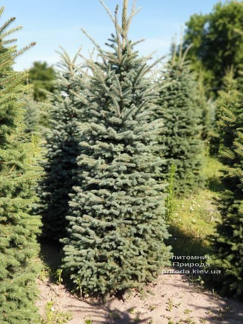 Ялина блакитна Глаука (Picea pungens Glauca) ФОТО Розплідник рослин Природа (32)