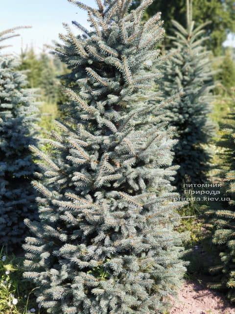 Ялина блакитна Глаука (Picea pungens Glauca) ФОТО Розплідник рослин Природа (33)