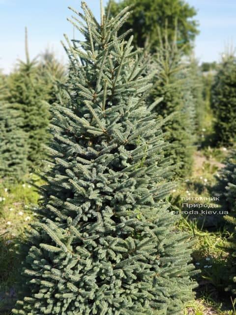 Ялина блакитна Глаука (Picea pungens Glauca) ФОТО Розплідник рослин Природа (34)