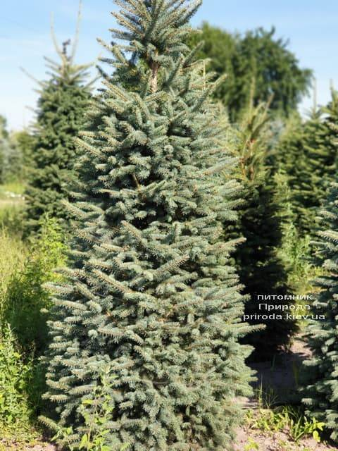 Ялина блакитна Глаука (Picea pungens Glauca) ФОТО Розплідник рослин Природа (35)