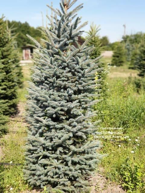 Ялина блакитна Глаука (Picea pungens Glauca) ФОТО Розплідник рослин Природа (36)