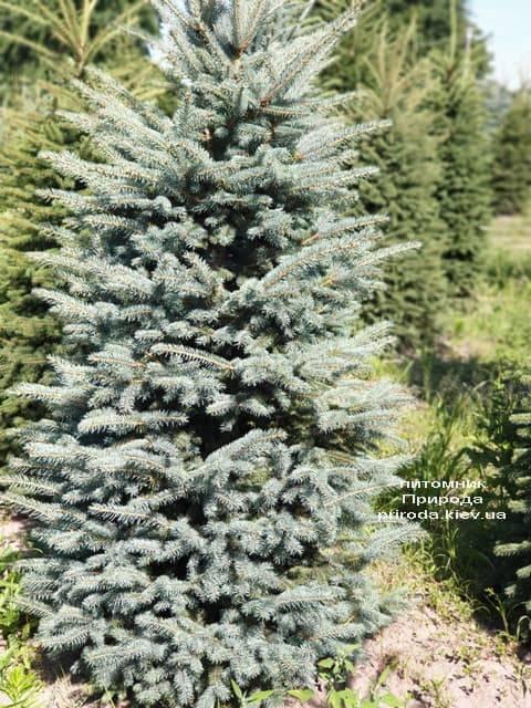Ялина блакитна Глаука (Picea pungens Glauca) ФОТО Розплідник рослин Природа (37)