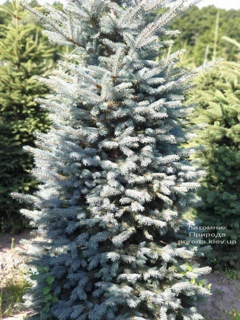 Ялина блакитна Глаука (Picea pungens Glauca) ФОТО Розплідник рослин Природа (38)