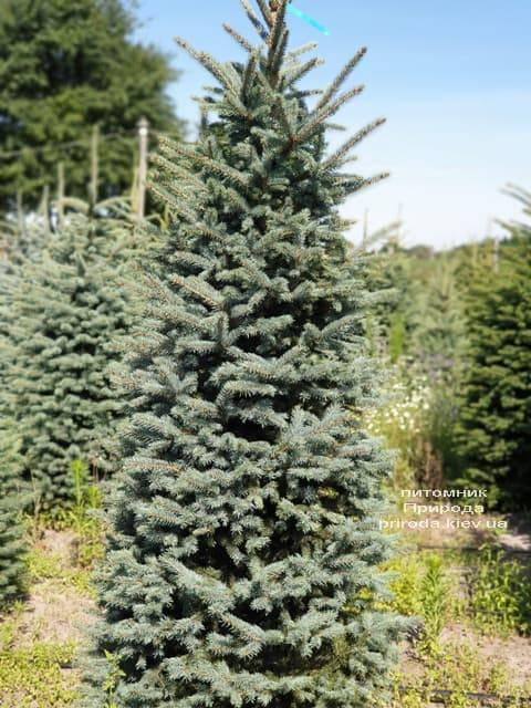 Ялина блакитна Глаука (Picea pungens Glauca) ФОТО Розплідник рослин Природа (39)