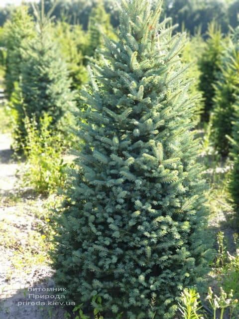 Ялина блакитна Глаука (Picea pungens Glauca) ФОТО Розплідник рослин Природа (40)