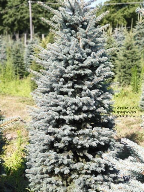 Ялина блакитна Глаука (Picea pungens Glauca) ФОТО Розплідник рослин Природа (41)