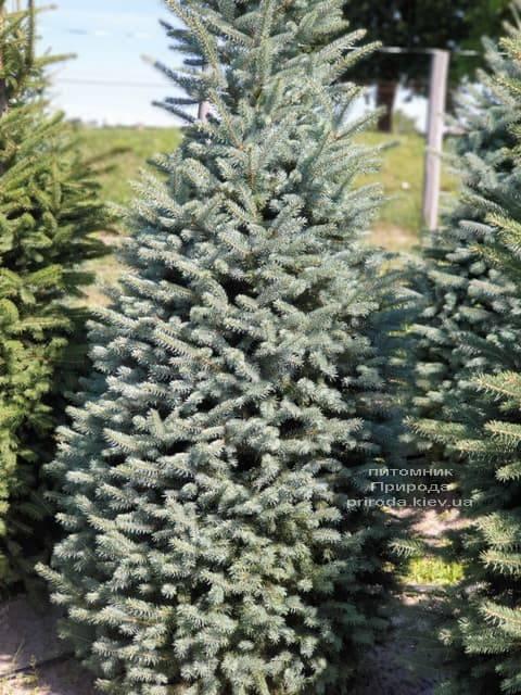 Ялина блакитна Глаука (Picea pungens Glauca) ФОТО Розплідник рослин Природа (42)