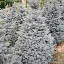 Ель голубая Глаука (Picea pungens Glauca) ФОТО Питомник растений Природа (43)