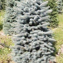 Ель голубая Глаука (Picea pungens Glauca) ФОТО Питомник растений Природа (44)