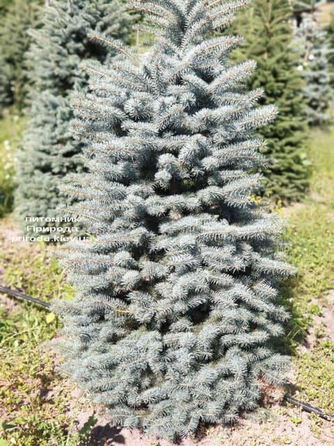 Ялина блакитна Глаука (Picea pungens Glauca) ФОТО Розплідник рослин Природа (44)