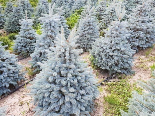 Ель голубая Глаука (Picea pungens Glauca) ФОТО Питомник растений Природа (45)
