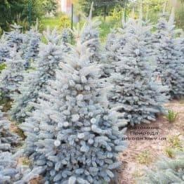 Ель голубая Глаука (Picea pungens Glauca) ФОТО Питомник растений Природа (46)