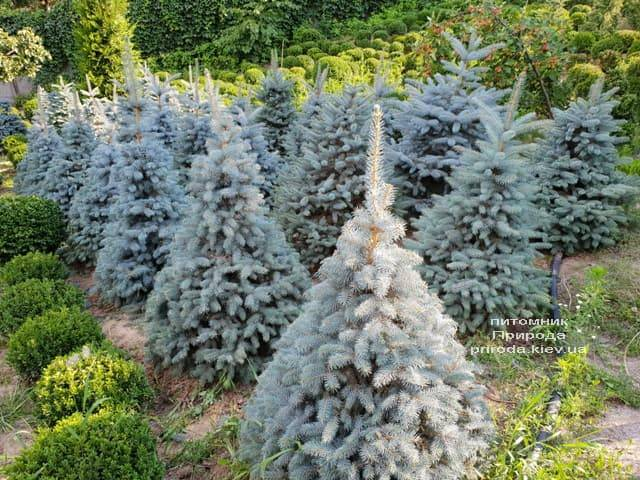 Ель голубая Глаука (Picea pungens Glauca) ФОТО Питомник растений Природа (47)
