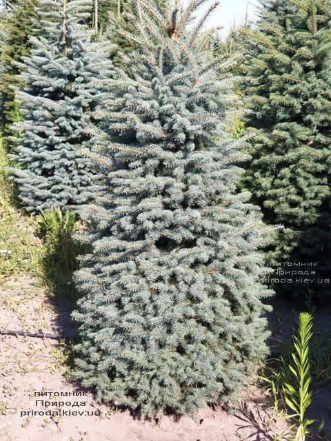 Ель голубая Глаука (Picea pungens Glauca) ФОТО Питомник растений Природа (48)