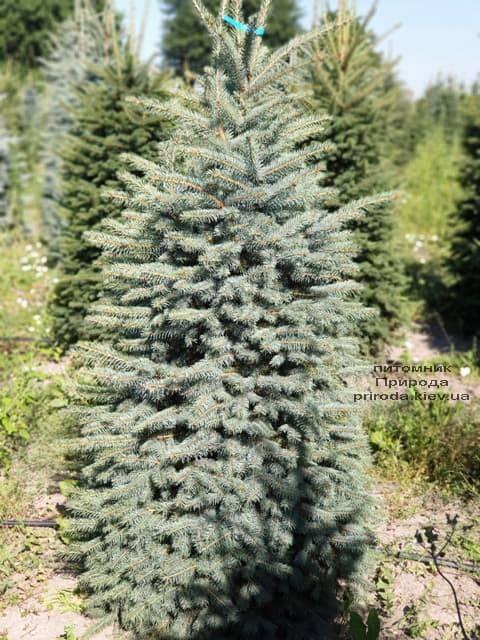 Ель голубая Глаука (Picea pungens Glauca) ФОТО Питомник растений Природа (49)