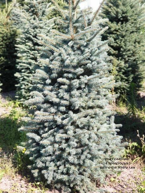 Ель голубая Глаука (Picea pungens Glauca) ФОТО Питомник растений Природа (50)