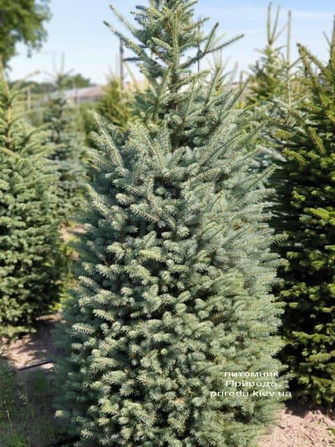 Ель голубая Глаука (Picea pungens Glauca) ФОТО Питомник растений Природа (51)