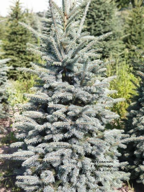 Ель голубая Глаука (Picea pungens Glauca) ФОТО Питомник растений Природа (52)