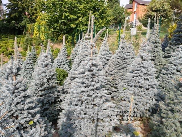 Ель голубая Глаука (Picea pungens Glauca) ФОТО Питомник растений Природа (53)