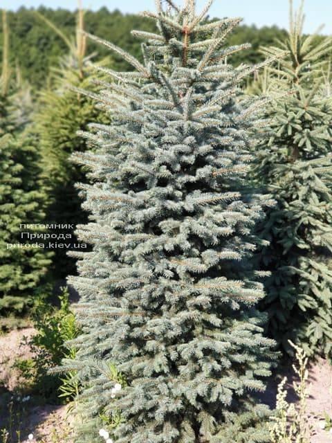 Ель голубая Глаука (Picea pungens Glauca) ФОТО Питомник растений Природа (54)