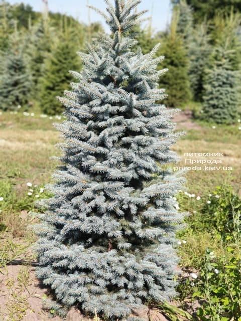 Ель голубая Глаука (Picea pungens Glauca) ФОТО Питомник растений Природа (56)