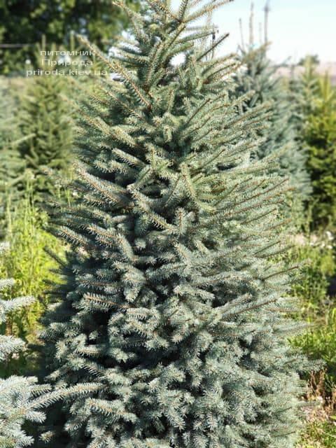 Ель голубая Глаука (Picea pungens Glauca) ФОТО Питомник растений Природа (57)