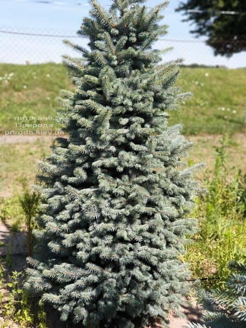 Ель голубая Глаука (Picea pungens Glauca) ФОТО Питомник растений Природа (58)