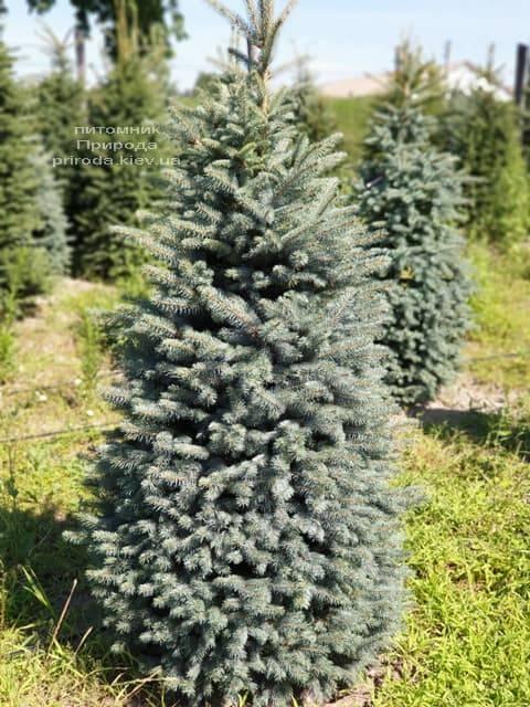 Ель голубая Глаука (Picea pungens Glauca) ФОТО Питомник растений Природа (59)