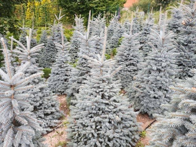 Ель голубая Глаука (Picea pungens Glauca) ФОТО Питомник растений Природа (60)