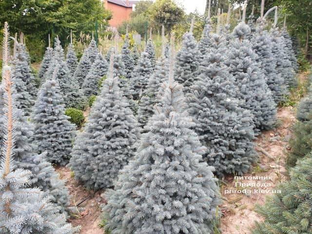 Ель голубая Глаука (Picea pungens Glauca) ФОТО Питомник растений Природа (61)
