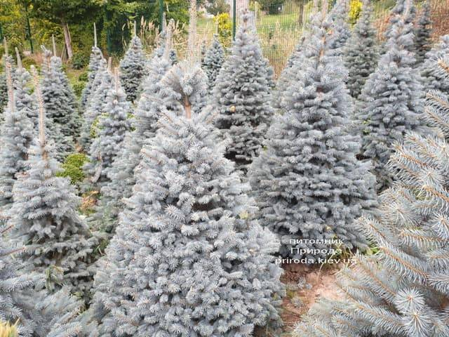 Ель голубая Глаука (Picea pungens Glauca) ФОТО Питомник растений Природа (62)
