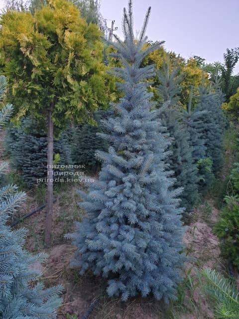 Ялина блакитна Глаука (Picea pungens Glauca) ФОТО Розплідник рослин Природа (64)