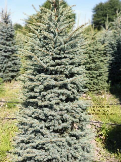Ялина блакитна Глаука (Picea pungens Glauca) ФОТО Розплідник рослин Природа (65)